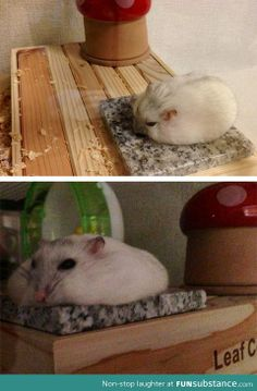Hamster cooling down in the summer - a slab of marble stays cool, even on the hottest days.