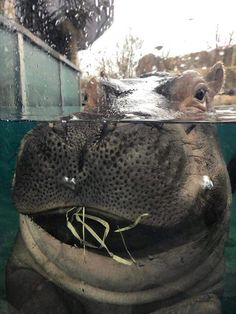 Chunky chunky hippo. Fiona is over 670 lbs!