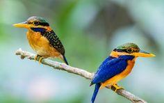 HD wallpaper: Couple birds kingfisher, 2 blue black and yellow bird, beak, branch Common Kingfisher, Kingfisher Bird, Orange Bird, Blue Bird, Hummingbird Illustration, Most Beautiful Birds, Brown Bird, A Course In Miracles, Bird Wallpaper