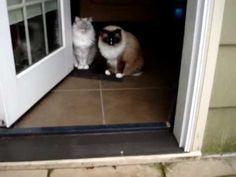 Ragdoll Cats Debate About Snow ねこ - ラグドール -- Floppycats  http://www.floppycats.com