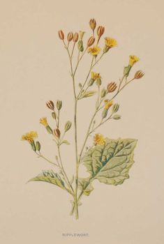 Antique botanical print titled Nipplewort by F E Hulme. The print was published circa 1895, this set of prints are referenced as being produced between 1885 and 1895. Vintage Botanical Prints, Prints For Sale, Antiques, Gallery, Plants, Home Decor, Antiquities, Antique, Decoration Home