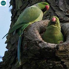 Rose-ringed parakeet/Ring-necked parakeet (Psittacula krameri).