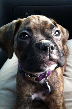 Boxer puppy <3 🐾❣️💙