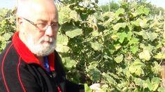 Uborka termesztése Cheminova technológiával
