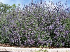 The 2 Minute Gardener: Photo - Cleveland Sage (Salvia clevelandii) Here is another drought tolerant plant that is also great for hummingbirds and slopes. Cleveland Sage is a California native that can reach 7 feet in width and 3 feet in height. Salvia, Drought Resistant Plants, Pathway Landscaping, Plants, Cool Plants, Front Yard Decor, Drought Tolerant Perennials, Native Garden, Garden Hoe