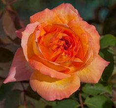 """ René Goscinny "" (Meifrypon) - Hybrid tea rose - Orange and yellow, vermillon shading - Strong fragrance - Meilland, 2005"