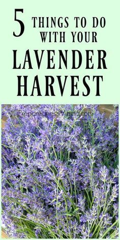 Container Gardening For Beginners Lavender is a versatile herb useful for many home remedies and crafts. Here are 5 ways to use your lavender harvest. Recipes for bath salts, lavender wands and more. Lavender Wands, Lavender Uses, Lavender Crafts, Lavender Recipes, Lavender Garden, Planting Lavender Outdoors, Growing Lavender, Vegetable Garden For Beginners, Gardening For Beginners