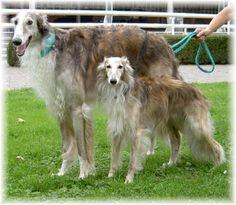 borzoi and silken windhound