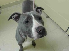 URGENT - Staten Island Center   BABY - A0995022   FEMALE, GRAY / WHITE, PIT BULL MIX, 2 yrs  STRAY - STRAY WAIT, HOLD FOR ID Reason ABANDON   Intake condition NONE Intake Date 03/27/2014, From NY 10303, DueOut Date 03/30/2014, I came in with Group/Litter #K14-172015.   https://www.facebook.com/photo.php?fbid=778871662125715&set=a.617941078218775.1073741869.152876678058553&type=3&theater