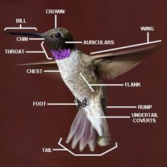 Learn the parts of a hummingbird and how to study different hummingbird body parts for easier bird identification. Includes a labeled diagram of an actual hummingbird.