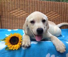 Un cucciolo di labrador miele sorridente
