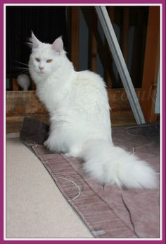Solid white Maine Coon female. Owned by FelinoCoons Maine Coon Cattery (www.felino.co.uk)