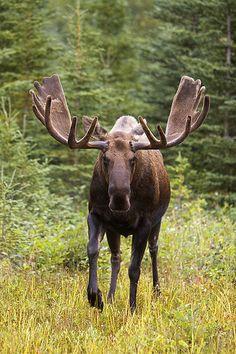 Bull Moose in velvet. | Flickr - Photo Sharing!