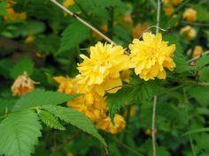 Flors perennes