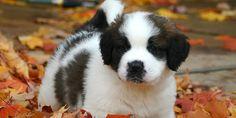 St. Bernard Puppy Picture