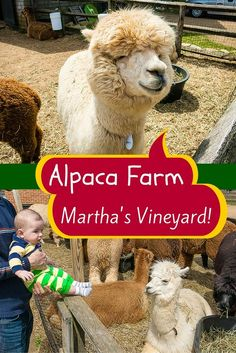 Martha's Vineyard, Massachusetts has a super fun, inexpensive thing to do if you're planning travel there: An alpaca farm where you can pet these fuzzy, adorable animals, either with kids and families of all ages, or as adults! More details and photos in the article. Enjoy!