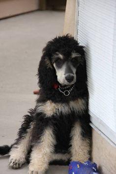 Poodle The Adorable Dog - The Pooch Online Poodle Cuts, Poodle Mix, I Love Dogs, Cute Dogs, Phantom Poodle, Tea Cup Poodle, Poodle Grooming, Dog Hacks, Tier Fotos