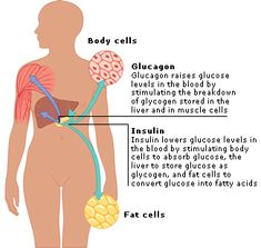 an overview of the diabetes mellitus and the decreased ability to use insulin in the human body Overview of diabetes mellitus,  type 2 diabetes can be greatly decreased by losing  with faulty genes that affect the body's ability to produce insulin.