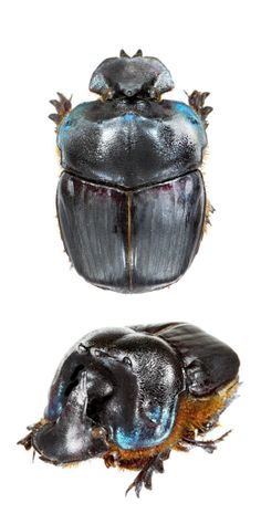 Coprophanaeus gamezi