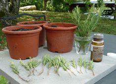 Rosmarin schnell und einfach selbst vermehren - Plantura