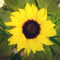 my first sunflower!!