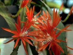 Cactus Andaluz, Eckhard Meier, Miniatur Phyllokakteen