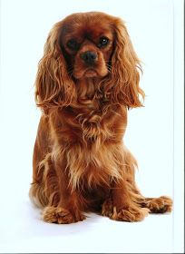 The Cavalier King Charles Spaniel is a direct descendant of the King Charles Spaniel and is named after King Charles II. The earliest appearance of this breed came in when King Charles Spaniels were mixed with Pugs. Cute Puppies, Cute Dogs, Corgi Puppies, Cavalier King Charles Spaniel, Spaniel Puppies, Art Design, Dressage, Doge, Dog Breeds
