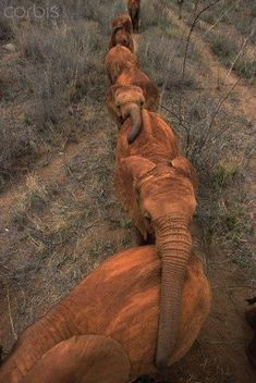 A line of elephant walking in a line while holding on to each other with their trunks.