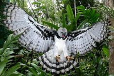 Super Bird Of Prey Raptors Harpy Eagle 38 Ideas Scavenger Birds, Rapace Diurne, Harpy Eagle, Eagle Wings, Rare Birds, Weird Birds, Mundo Animal, Big Bird, Birds Of Prey