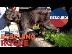 Mange Infested Dog Rescued from Crack-Head: Ep #6 Rescuing Rogue w Detroit Pit Crew - YouTube