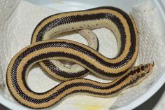 Mexican Rosy Cool Snakes, Mexico, Cool Stuff, Image, Mexico City