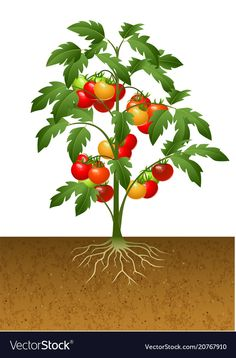 Tomato plant with root under the ground Royalty Free Vector Tips For Growing Tomatoes, Growing Tomato Plants, Balcony Plants, Indoor Plants, Fruit Crafts, Chicken Ham, Plant Science, Plant Images, Plant Illustration