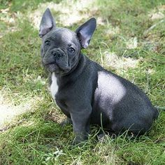 For sale: Batpig WILL  Solid blue boy, with wonderful character and micro size  Info: vanillabulldogs@gmail.com