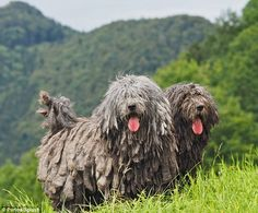 Man's best friend: The American Kennel Club is set to unveil the Bergamasco, a sheepdog whose coat grows to form felt-like mats. The mats grow over the course of the dog's life, reaching the ground at approximately six years of age