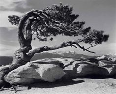 does this tree look young or Old? Can you move your body to make the shape of this tree? Do you know why trees  make shapes like that? If this tree was a person, what would it be feeling?Ansel Adams