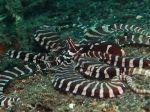 Thaumoctopus mimicus (eng. Mimic Octopus)