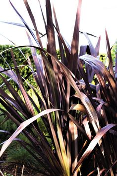 With deeply-saturated foliage, Black Adder phormium adds drama plus firescaping power to the garden. Try it in containers and flower arrangements, too! Natural Materials, Flower Arrangements, Westerns, Environment, Fire, Grasses, Sunset, Spotlight, Garden