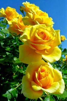 ✿⊱❥ Rosas Amarelas