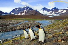 King penguins on South Georgia Island.