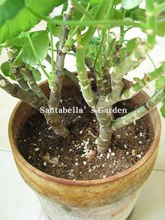 제라늄 키우기 방법 A to Z - <1> 계절별 관리 방법(여름철을 조심하라!) : 네이버 블로그 Garden, Plants, Garten, Flora, Plant, Lawn And Garden, Outdoor, Tuin, Gardens