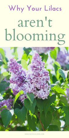 Learn why your lilac bush isn't blooming and what you can do about it! Lilac bushes produce large, fragrant flower blooms that bloom in the spring with the right care and environment!