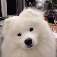 Fluffy samoyed dog shaking his head Silly Dogs, Cute Dogs And Puppies, Baby Dogs, Doggies, Cute Baby Animals, Animals And Pets, Funny Animals, Shih Tzu, Dog Shaking