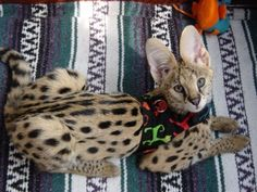 exotic pet pictures and like OMG! get some yourself some pawtastic adorable cat shirts, cat socks, and other cat apparel by tapping the pin!