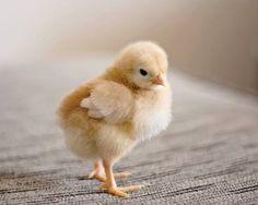 Cute baby chick - Pinned by Mak Khalaf My Etsy shop: http://ift.tt/1jS0gzd My Facebook page: http://ift.tt/1PacsIa Animals 50mmanimalanimalsbabybaby chickbaby chickenbirdcanoncanon7dchickchickencuteeyesfacefadedfarmfarm animalgoldgoldenorangepaleprettywingsyellowyoung by mslori411