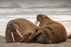 Walrus II by IgorAltuna #animals #animal #pet #pets #animales #animallovers #photooftheday #amazing #picoftheday
