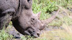 Newsela | Stopping rhino poachers by watching from the sky