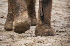 True grit: Zoo searches world for perfect 'elephant sand' Elephant Family, True Grit, Portland Oregon, Elephants, History, World, Pretty, Cute, Animals