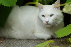 Cats are most popular pet in the world. In this post, I contain the Angry Turkish Angora Cat Breed Pics. The Turkish Angora is a breed of domestic cat. Turkish Angora Cat, Angora Cats, Funny Cat Memes, Funny Cats, Funny Animals, Flea Shampoo For Cats, Cats And Cucumbers, Cat With Blue Eyes, Cat Drinking