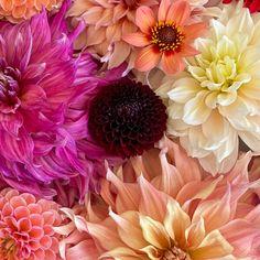 HOW TO DEADHEAD DAHLIAS FOR BLOOMS ALL SEASON LONG   The Impatient Gardener Planting Dahlias, Growing Dahlias, Love Garden, Dream Garden, Pruning Azaleas, Pink Cafe, Little Buds, Purple Plants, Liquid Fertilizer