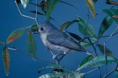 TUFTED TITMOUSE - Birds for Kids